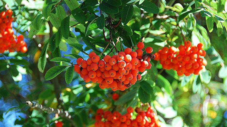Инстаграм-подписчики ГТРК «Амур» хотели бы видеть на обновленной ул. Калинина в Благовещенске яблони и рябины