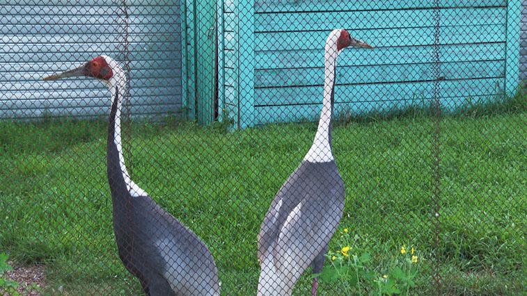 В Хинганском заповеднике работают над увеличением численности журавлей по своему оригинальному плану