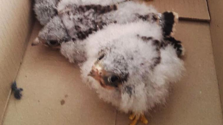 Птенцов амурского кобчика спасли в Садовом