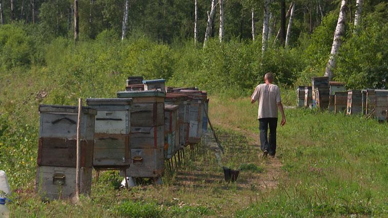 Пасечники бьют тревогу: В Приамурье из-за дождей не уродился липовый мед