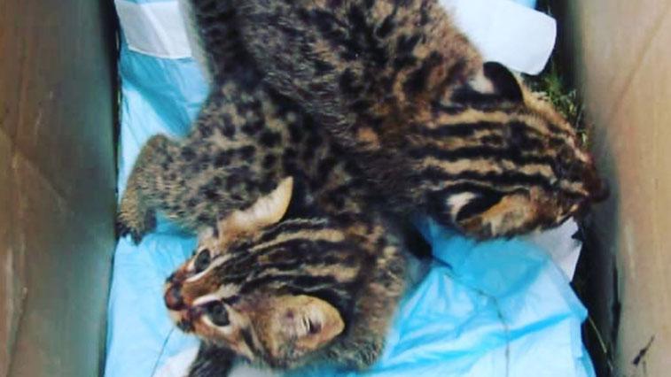 В центре «Тигр» спасают малышей дальневосточного лесного кота