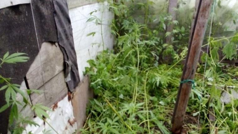 Пенсионер из Сахалина выращивал коноплю в теплице