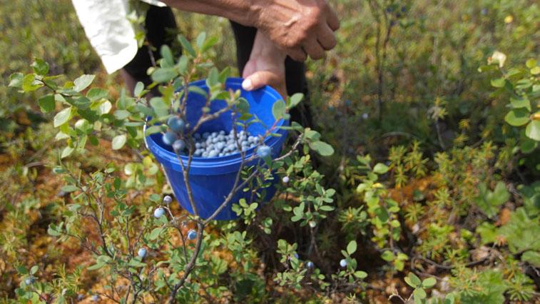 Амурские эвенки готовы зарабатывать сбором и продажей ягод и лекарственных трав