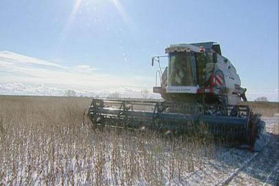 Выпавший снег мешает амурским аграриям закончить уборочную
