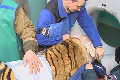 Обследование не выявило у найденного тигра травм позвоночника