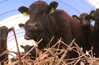 Из Приамурья на Сахалин отправились более 200 породистых коров
