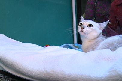 Редкую для России породу кошек представили на выставке в Благовещенске