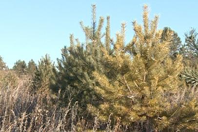 Амурчане за две недели незаконно срубили 30 сосен и елей